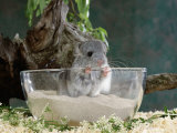 Long-Tailed Chinchilla Sand Bathing Photographic Print by  Steimer