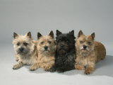 Cairn-Terrier Prints by Petra Wegner