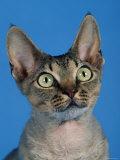Head of Devon Rex Cat Photographic Print by Petra Wegner
