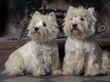 Domestic Dogs, Two West Highland Terriers / Westies Sitting Together Photographic Print by Adriano Bacchella