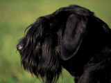 Black Standard Schnauzer Profile Fotografa por Adriano Bacchella
