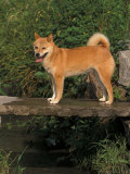 Shiba Inu Standing on a Bridge Photo by Adriano Bacchella