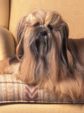 Lhasa Apso Sitting on Couch with Hair Plaited Photographic Print by Adriano Bacchella