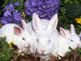 Domestic New Zealand Rabbits, Amongst Hydrangeas, USA Posters by Lynn M. Stone