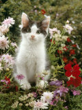 Domestic Cat, 9-Week, Black-And-White Kitten Among Flowers Print by Jane Burton