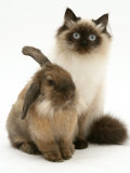 Young Birman-Cross Cat with Dwarf Lionhead Rabbit Photographic Print by Jane Burton