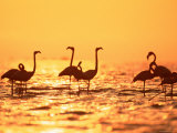 American Flamingos on Lake at Sunset, Yucatan, Mexico Prints by Lucasseck