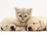 Lilac Tortoiseshell Kitten Between Two Sleeping Golden Retriever Puppies Prints by Jane Burton