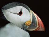 Puffin Portrait, Runde, Norway Posters par Bence Mate