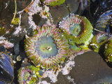Aggregating Anemone, in Tidepool at Low Tide, Olympic National Park, Washington, USA Photographic Print by Georgette Douwma