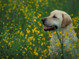 Labrador Retriever Sitting Among Flowers Posters by Adriano Bacchella