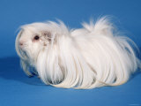 White Peruvian Guinea Pig Photographic Print by Petra Wegner