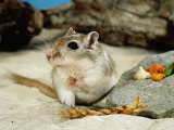 Gerbils at Play Premium Photographic Print by  Steimer