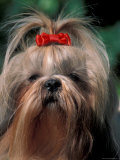 Shih Tzu with Hair Tied Up Prints by Adriano Bacchella