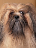 Lhasa Apso Portrait with Hair Tied Back Away from Face Prints by Adriano Bacchella