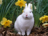 Domestic Albino Netherland Dwarf Rabbit, Amongst Daffodils, USA Photographic Print by Lynn M. Stone