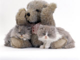 Domestic Cat, Two Blue Persian Kittens with a Brindle Teddy Bear Photographic Print by Jane Burton