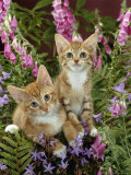 Domestic Cat, 10-Week, Red Male and Ginger Female Spotted Tabbies Among Foxgloves and Bellflowers Photographic Print by Jane Burton