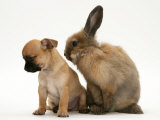 Chihuahua Puppy and Lionhead Rabbit Photographic Print by Jane Burton