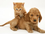British Shorthair Red Tabby Kitten Climbing Ontop of Golden Cocker Spaniel Puppy Photographic Print by Jane Burton