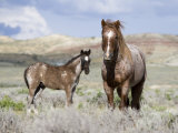 Wild Horses, Red Roan Stallion with Foal in Sagebrush-Steppe Landscape, Adobe Town, Wyoming, USA Photographic Print by Carol Walker