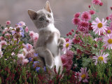 Lilac-And-White Burmese-Cross Kitten Standing on Rear Legs Among Pink Chrysanthemums and Heather Prints by Jane Burton