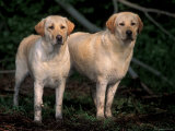 Domestic Dogs, Two Labrador Retrievers Photographic Print by Adriano Bacchella