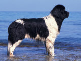 Landseer / Newfoundland Standing at the Beach Prints by Adriano Bacchella