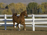 Chestnut Arabian Gelding Cantering in Field, Boulder, Colorado, USA Photographic Print by Carol Walker
