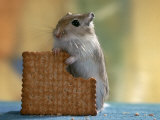 Gerbil Eating Biscuit Photographic Print by  Steimer