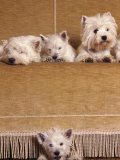West Highland Terrier / Westie Family Sitting on Couch, One Peeping Our from Under the Couch Photographic Print by Adriano Bacchella