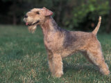 Black and Tan Lakeland Terrier Standing in Show Stack / Pose Photographic Print by Adriano Bacchella