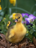 Domestic Gosling Amongst Pansies, USA Photographic Print by Lynn M. Stone