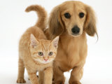 Cream Kitten with Cream Dapple Dachshund Puppy Photographic Print by Jane Burton