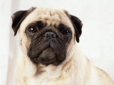 Pug Dog Photographic Print by  Steimer