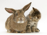 British Shorthair Brown Tabby Female Kitten Looking Inquisitivly at Young Agouti Rabbit Print by Jane Burton