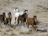 Herd of Wild Horses, Cantering Across Sagebrush-Steppe, Adobe Town, Wyoming, USA Photographic Print by Carol Walker
