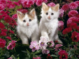Domestic Cat, 7-Week, White-And-Tortoiseshell Kittens, Among Pink Pansies and Chrysanthemums Posters by Jane Burton