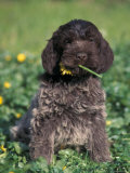 Korthal's Griffon / Wirehaired Pointing Griffon Puppy Eating Flower Photographic Print by Adriano Bacchella