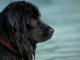 Black Newfoundland Dog Near Water Prints by Adriano Bacchella