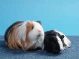 Sheltie Guinea Pig with Young Prints by Petra Wegner