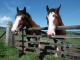 Domestic Horses, Looking Over Fence, Yorkshire, UK Photographic Print by De Meester