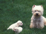 Domestic Dogs, West Highland Terrier / Westie with Two Young Puppies Poster by Adriano Bacchella