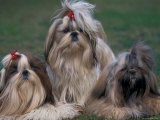 Domestic Dogs, Three Shih Tzus Sitting or Lying on Grass with Their Hair Tied Up Poster by Adriano Bacchella