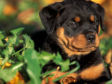 Rottweiler Puppy in Grass Poster by Adriano Bacchella