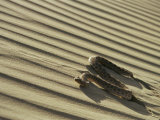Sahara Horned Viper, Side Winding up Desert Sand Dune, Morocco Poster par James Aldred