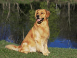 Domestic Dog Sitting Portrait, Golden Retriever, (Canis Familiaris) Illinois, USA Photographic Print by Lynn M. Stone