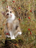 Domestic Cat, Tabby-Tortoiseshell Kitten Among Cocksfoot Grass, Horsetails and Rose Hips Photographic Print by Jane Burton