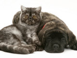 Smoke Exotic Kitten Curled up with Sleeping Brindle English Mastiff Puppy Prints by Jane Burton