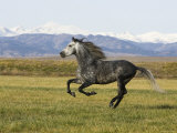 Gray Andalusian Stallion, Cantering Profile, Longmont, Colorado, USA Photographic Print by Carol Walker